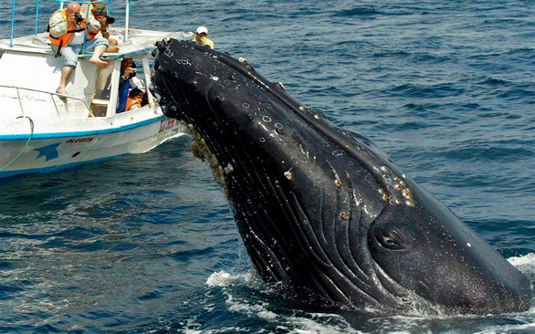 Наблюдение за горбатыми китами